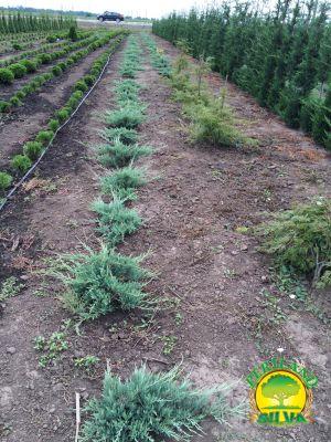 Juniperus-hughes
