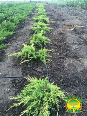 Juniperus-med-old-gold