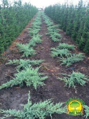Juniperus-med-pfitzer-glauca--