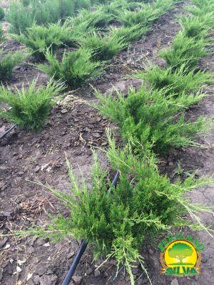 Juniperus-mint-julep-