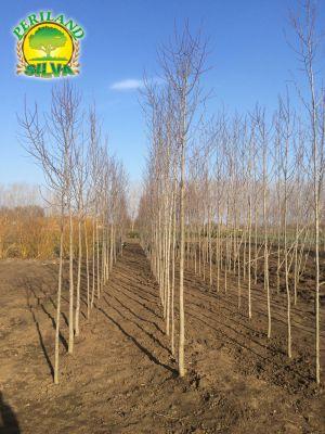 Magnolia-kobus-1