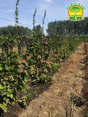 Magnolia-susan-(2)