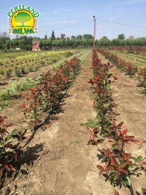 Photinia-red-robin-(2)