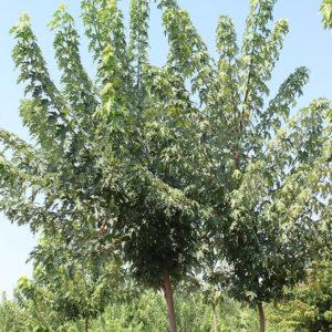 ACER SACCHARINUM | Arbori ornamentali