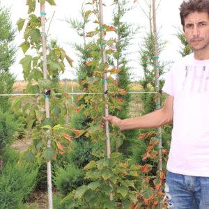 ACER RUFINERVE | Arbori ornamentali