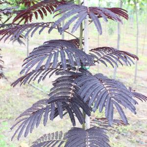 ALBIZZIA JULLIBRISSIM SUMMER CHOCOLATE | Arbori ornamentali