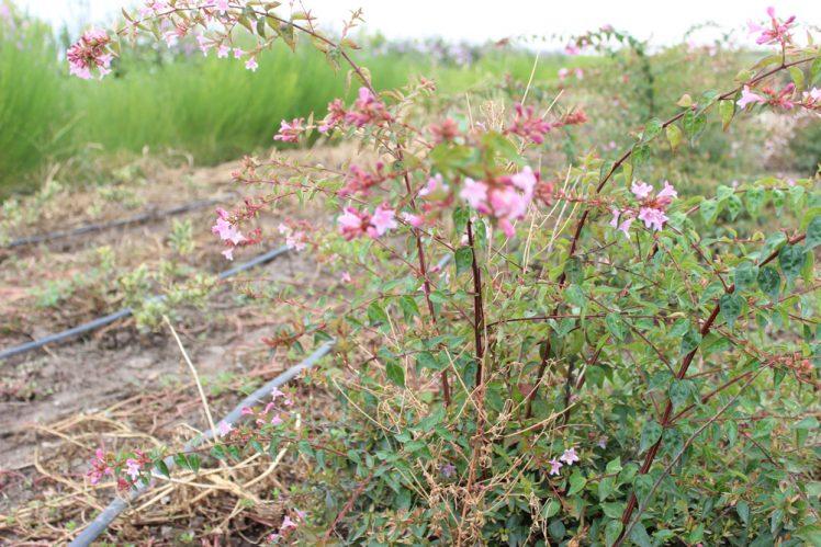 ABELIA GR. EDOUARD GOUCHER - Arbusti ornamentali