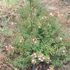 ABELIA GR. FRANCIS MASON - Arbusti ornamentali