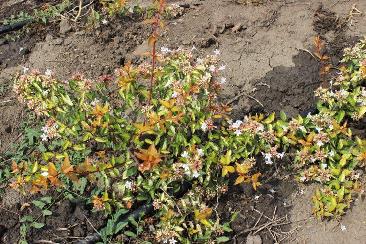 ABELIA GRANDIFLORA GOLD SPOT - Arbusti ornamentali
