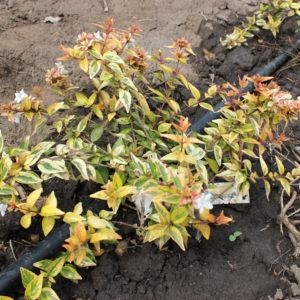 ABELIA GRANDIFLORA KALEIDOSCOPE - Arbusti ornamentali