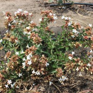 ABELIA GRANDIFLORA SHERWOODII - Arbusti ornamentali
