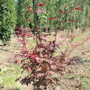 ACER PALMATUM ATROPURPUREUM - arbusti ornamentali