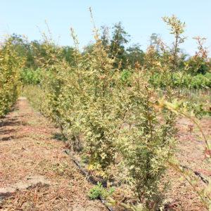 ACER PALMATUM BUTTERFLY - arbusti ornamentali
