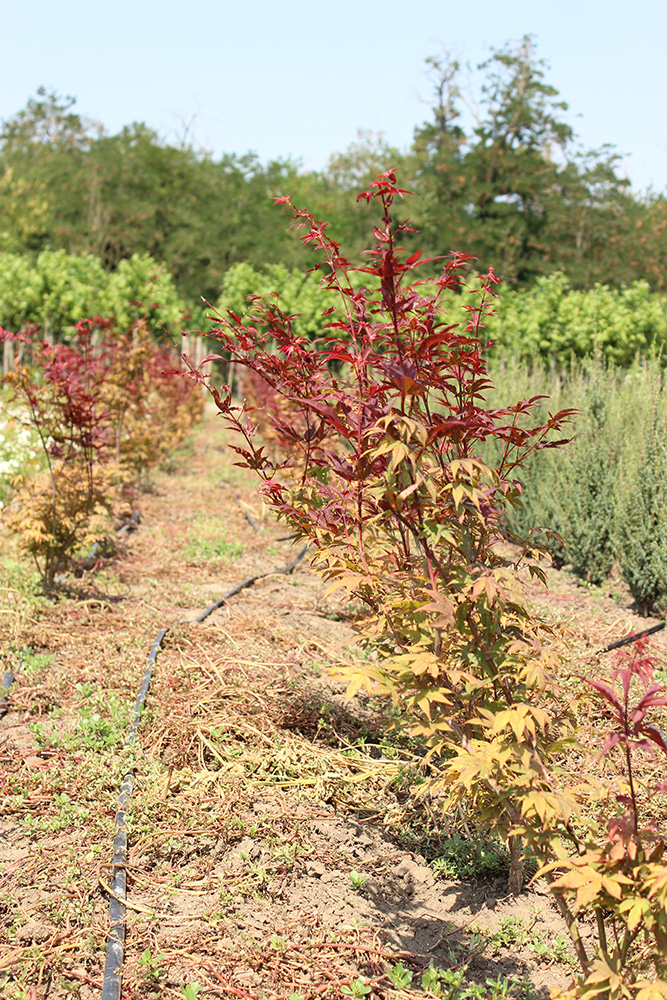 ACER PALMATUM FLAVESCENS - arbusti ornamentali