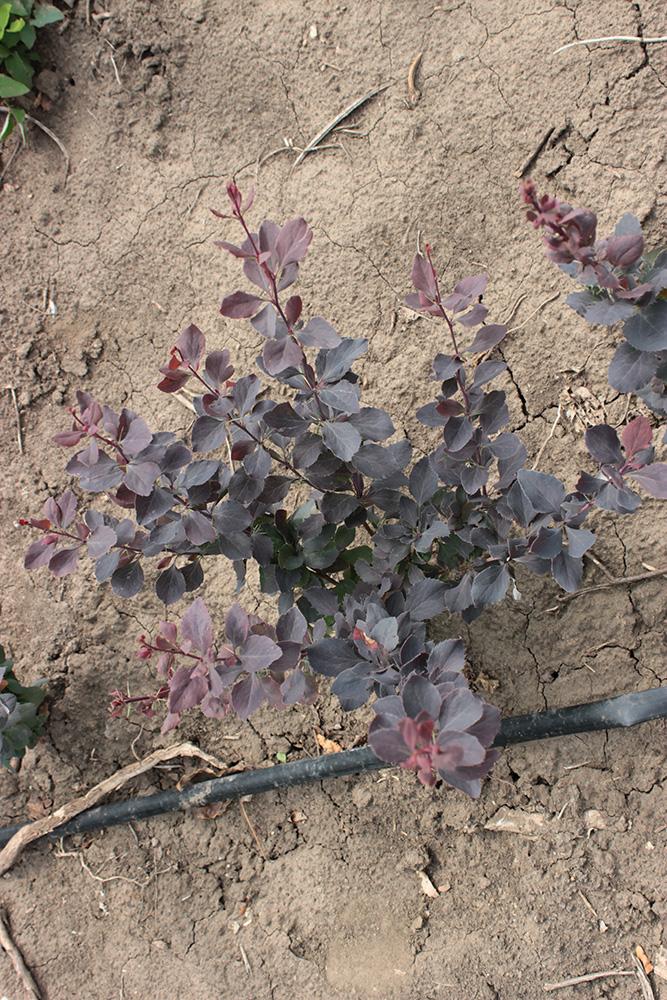 BERBERIS THUMBERGII ATROPURPUREA - arbusti ornamentali