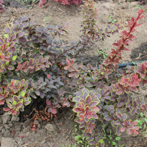 BERBERIS THUNBERGII GOLDEN RING - arbusti ornamentali