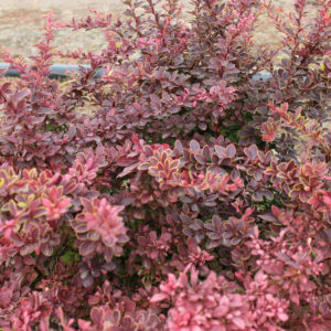 BERBERIS THUNBERGII GOLDEN RING - arbusti ornamentali