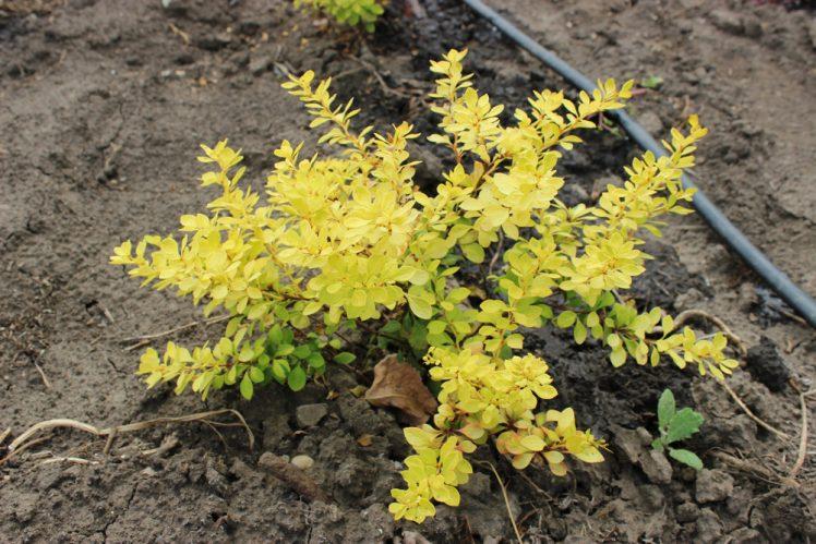 BERBERIS THUNBERGII AUREA - arbusti ornamentali