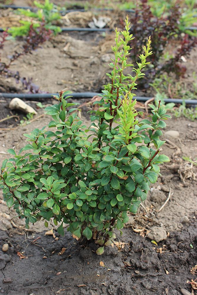 BERBERIS THUMBERGII POWWOW - arbusti ornamentali