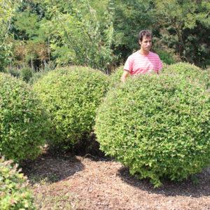 SALIX CAPREA BILA -Arbusti ornamentali