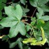 Acer Campestre - frunza si fruct