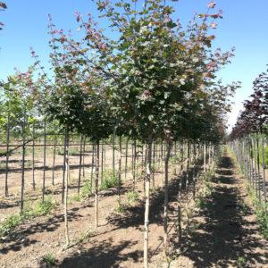 Arbori ornamentali - Acer campestre Red Shine
