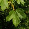 Acer Campestre Elsrijk frunza