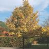 Acer Campestre Elsrijk toamna