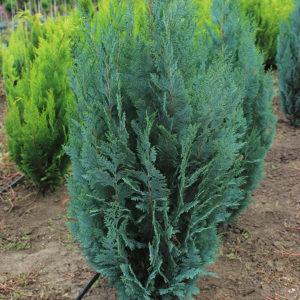 CHAMAECYPARIS COLUMNARIS | Conifere