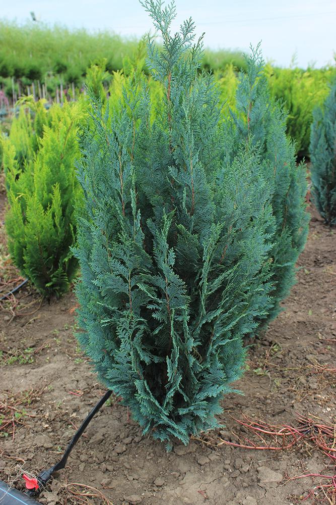 CHAMAECYPARIS COLUMNARIS   Conifere