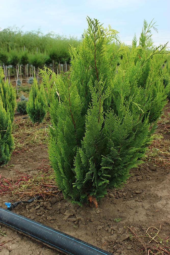 CHAMAECYPARIS STARDUST | Conifere