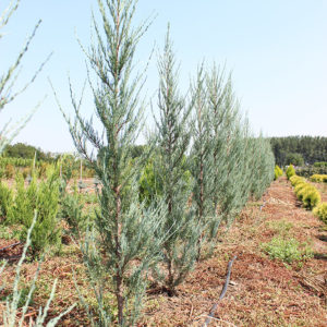 JUNIPERUS BLUE ARROW | Conifere