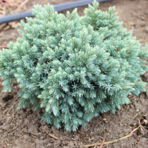 JUNIPERUS BLUE STAR | Conifere