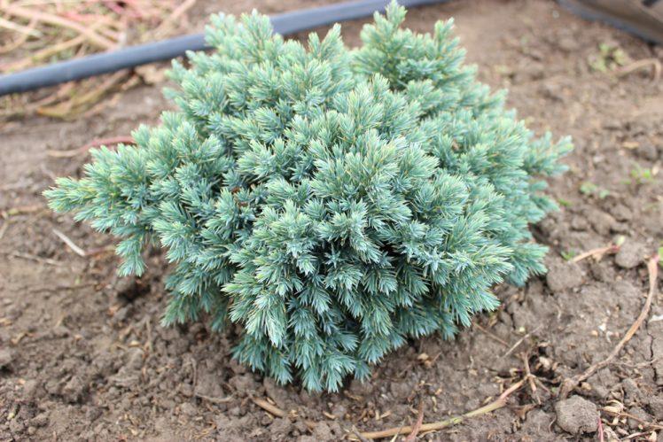JUNIPERUS BLUE STAR | Conifere