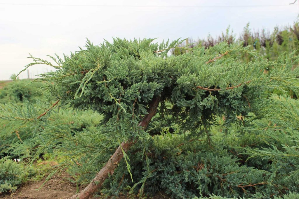Juniperus blue carpet conifere pepiniera silva periland - Juniperus squamata blue carpet ...